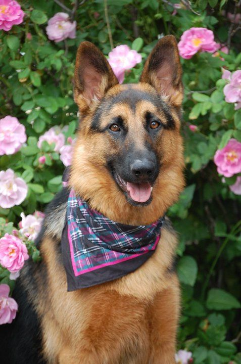 german shepherd flowers spring