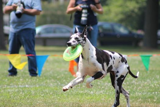 great dane frisbee