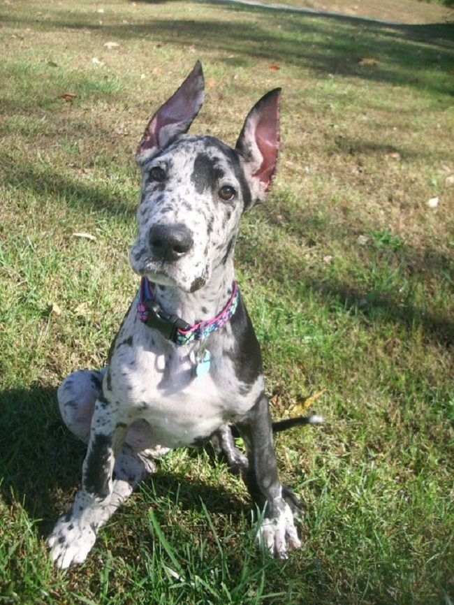 great dane puppy awesome