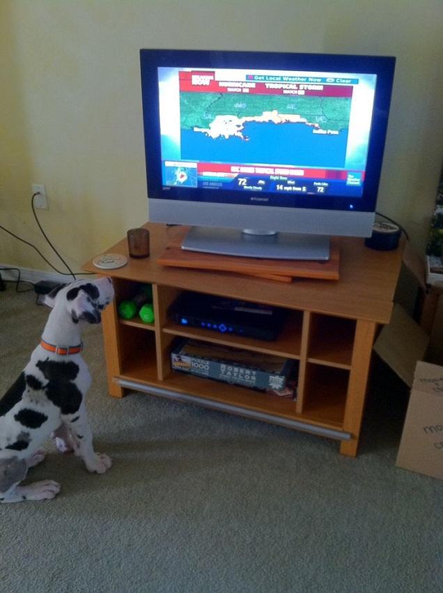 great dane puppy watching tv
