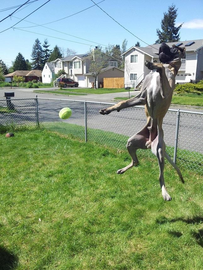 grey great dane fly ball