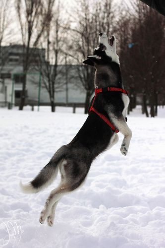 10 Huskies Totally Defying The Laws Of Physics