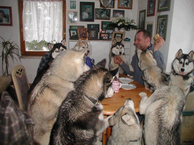 husky dinner