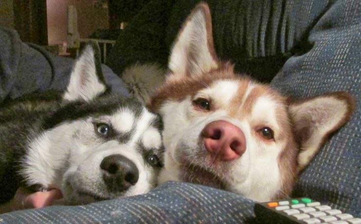 husky dogs faces