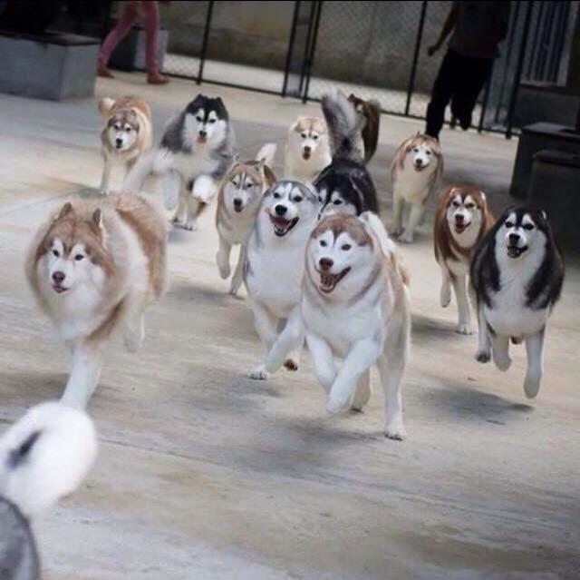 husky pack