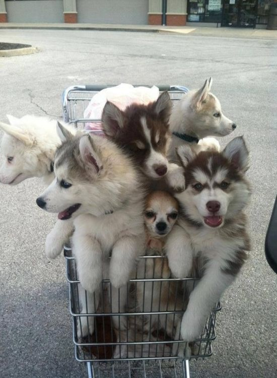 husky puppies trolley