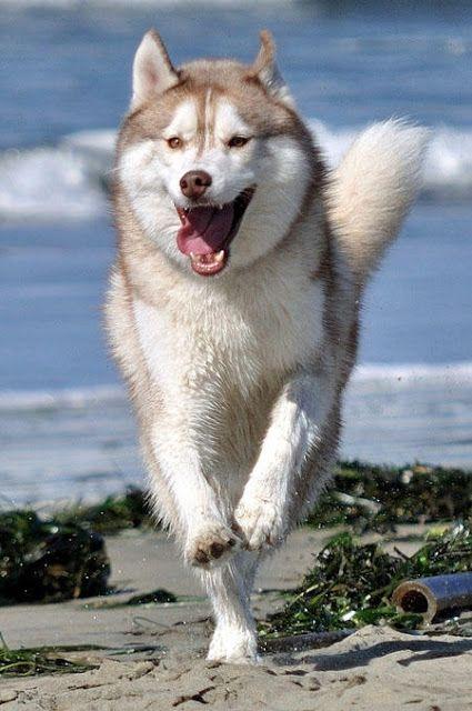 husky run