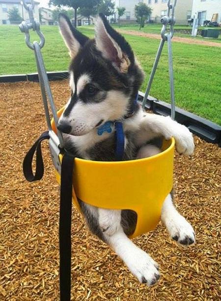 husky swing