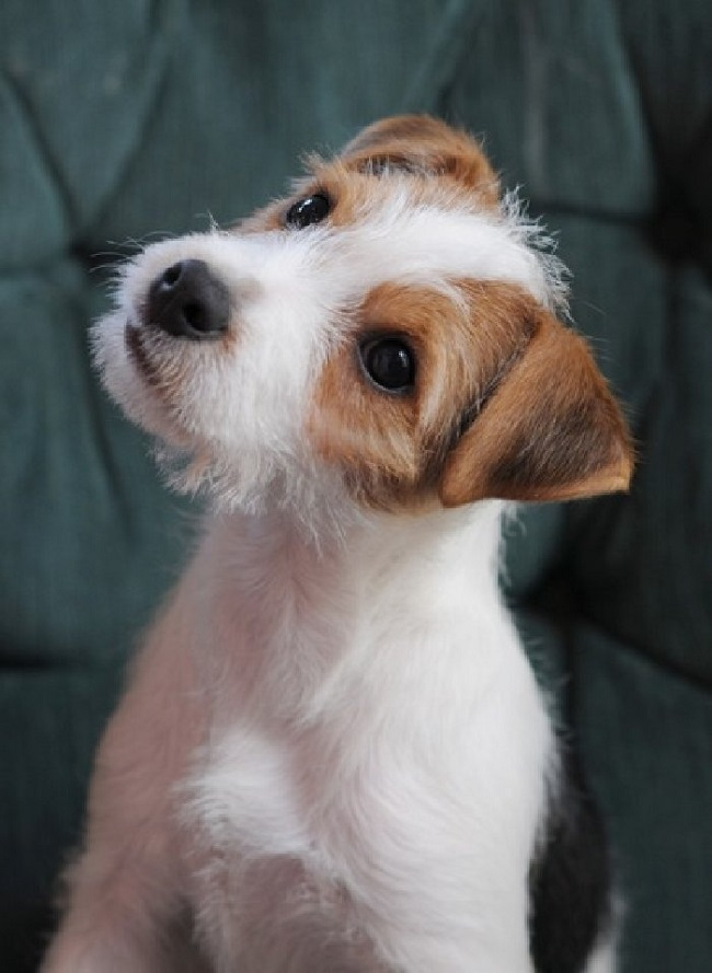 Top 10 Things Jack Russell Terriers Don T Like