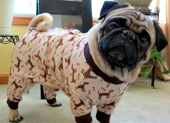 jammies pug outfit