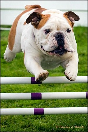 jumping english bulldog