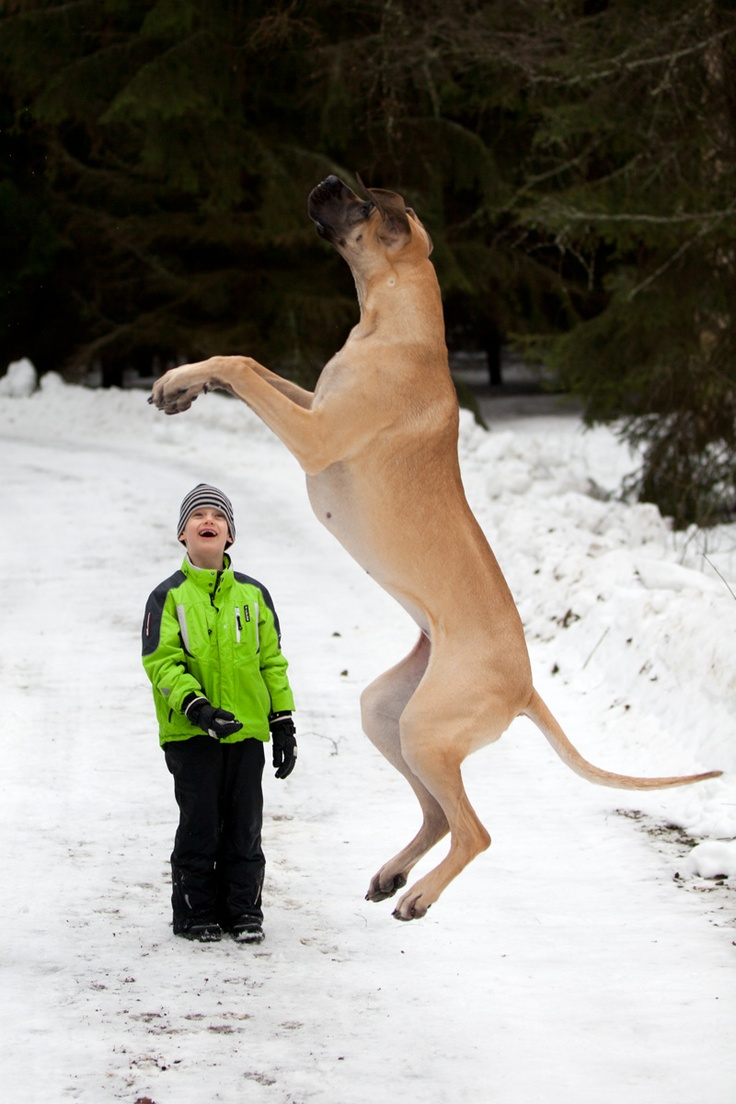 jumping great dane winter kid