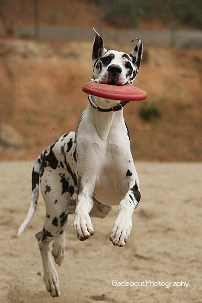 playful great dane running