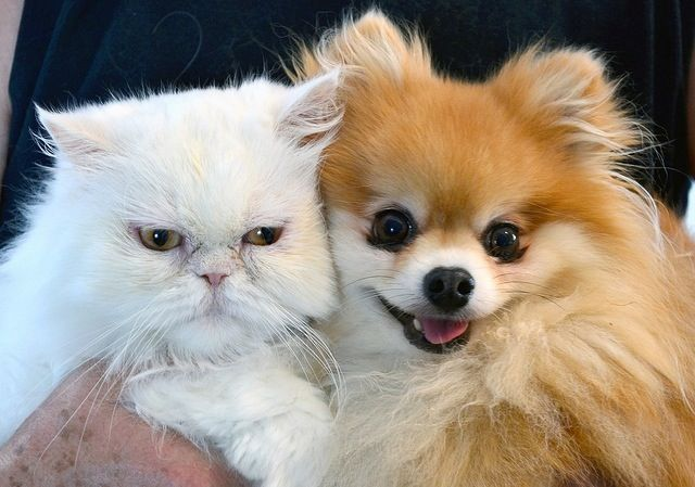 pomeranian and cats 16 things all pomeranian owners must never forget 5226