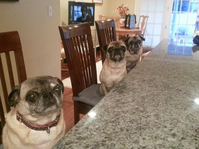 pugs dinner table photo