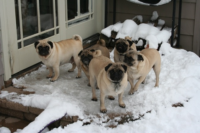 pugs winter snow cold