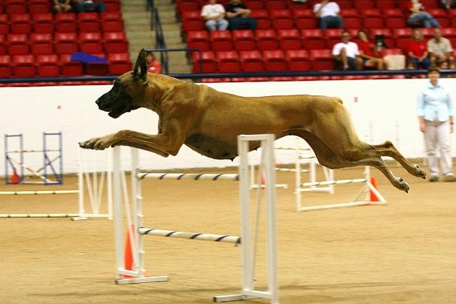 running flying dog great dane