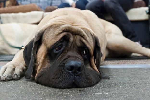 """Resultado de imagen de mastiff sad"""""""