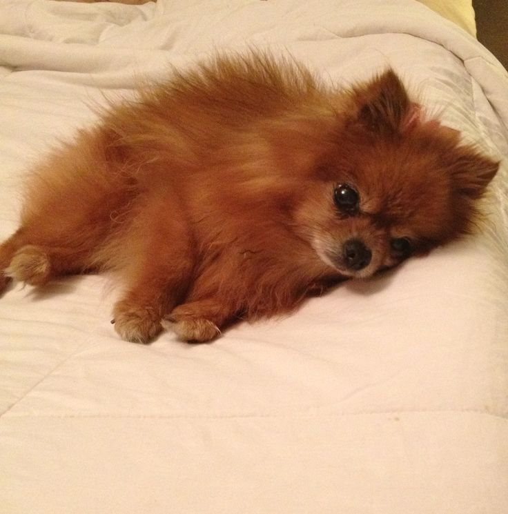 Show Me A Picture Of A Pomeranian Dog