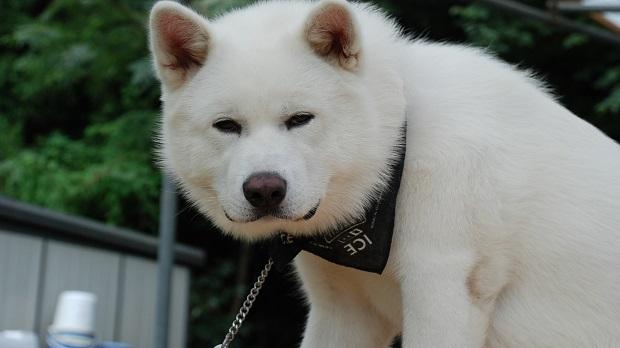 white akita inu dog