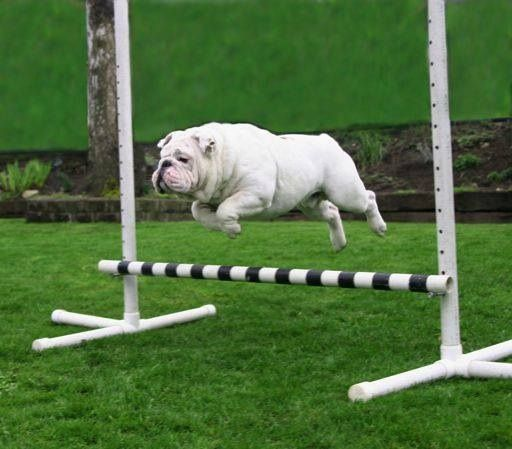 white bulldog jumping