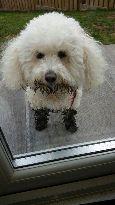 Bichon muddy