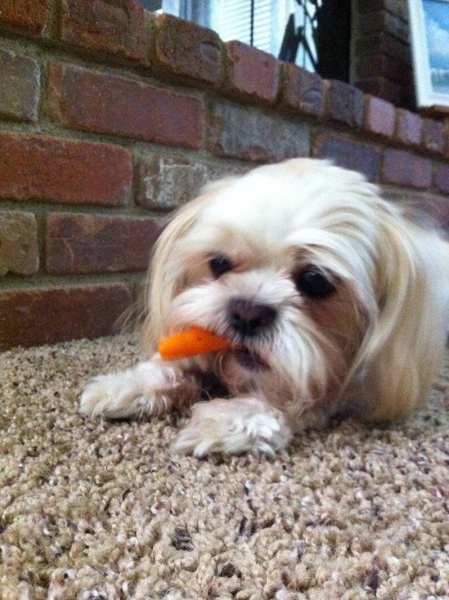 Shih tzu eating carrot