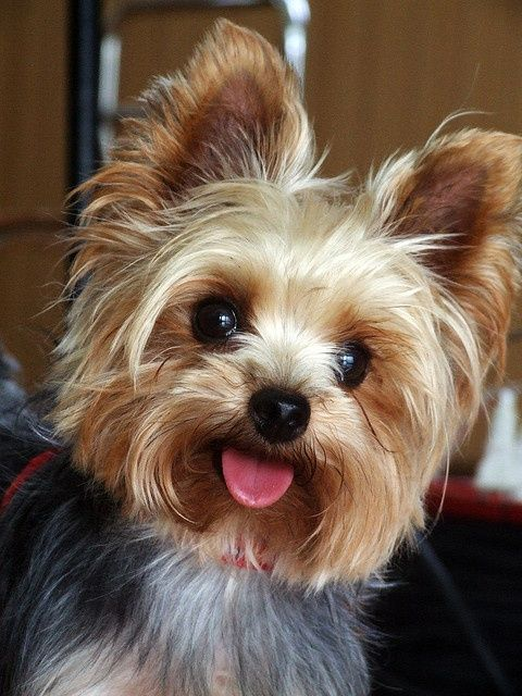 Small in size but big in personality, Here are TOP 10 interesting facts about Yorkshire Terrier. 3