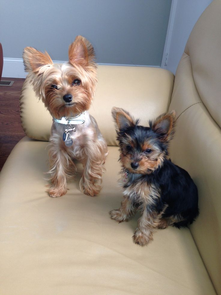 12 Realities That New Yorkshire Terrier Owners Must Accept