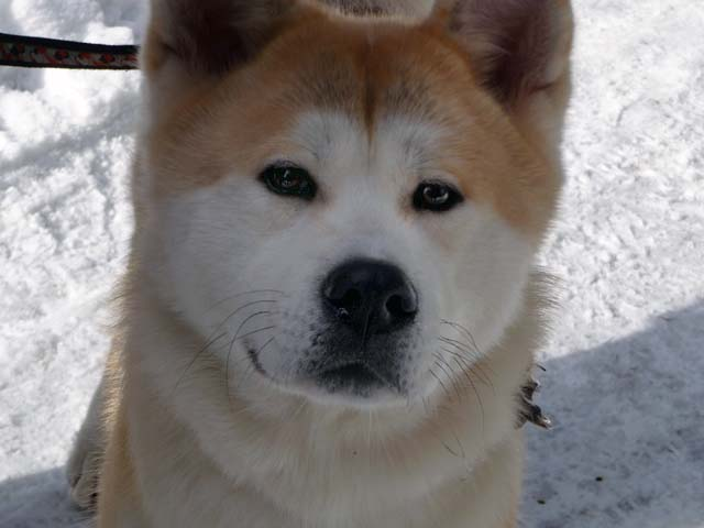 14 Things All Akita Inu Owners Must Never Forget