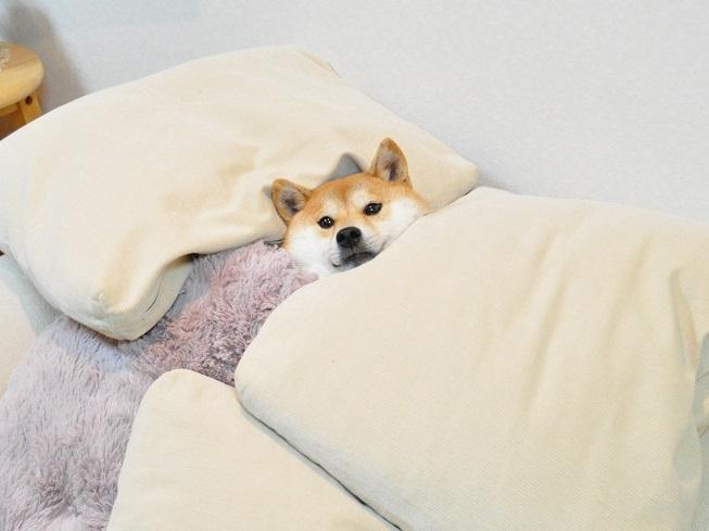 Resultado de imagen para Akita sleeping