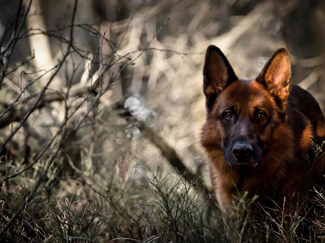 16 Reasons German Shepherds Are The Worst Indoor Dog