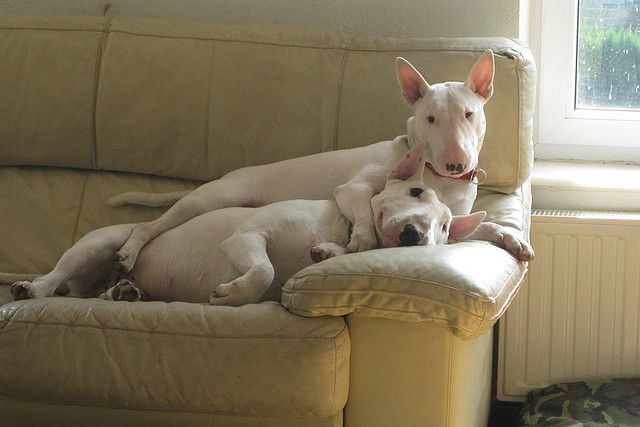 beautiful english bull terriers sofa