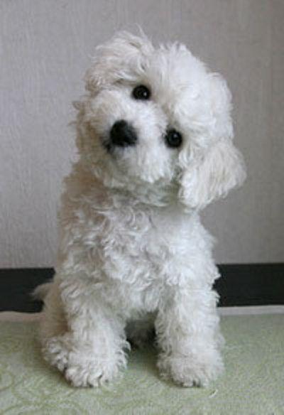 bichon eyes white dog