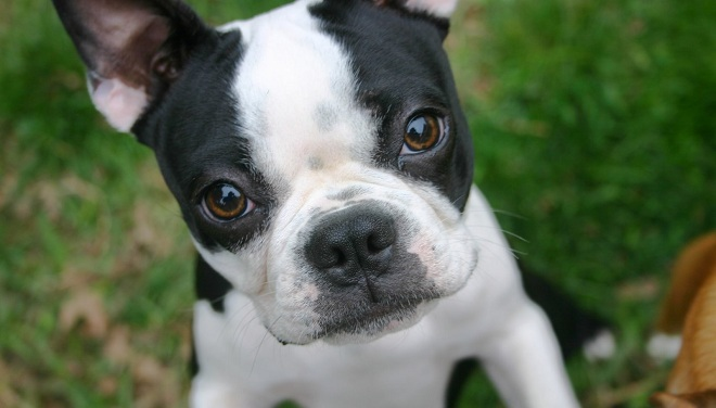 18 Things All Boston Terrier Owners Must Never Forget
