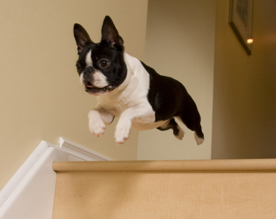 boston terrier flying