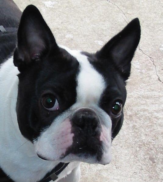 boston-terrier-glance