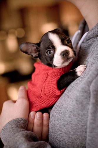 boston-terrier-hugs