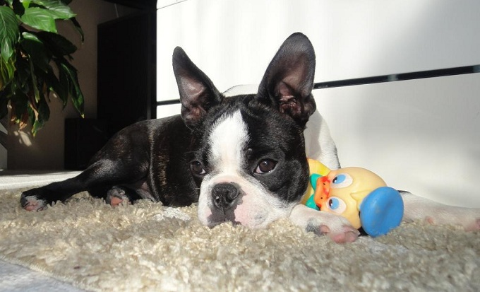 boston-terrier-sad