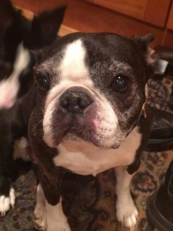 boston-terrier-senior