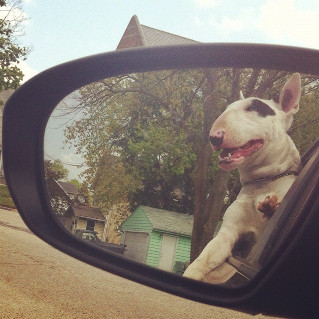 bull terrier car mirror drive