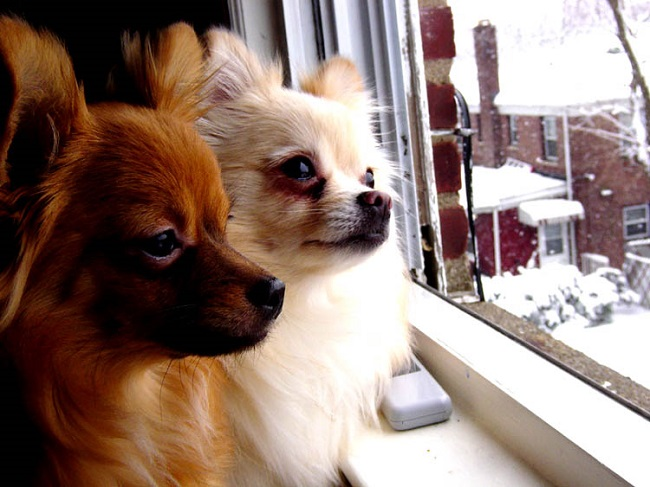 Resultado de imagen para chihuahua waiting owner