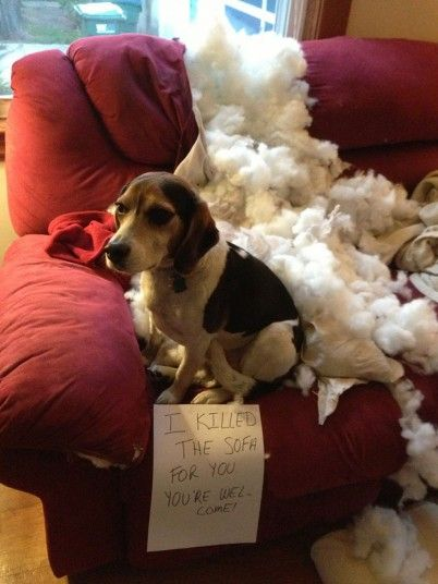 12 Realities That New Beagle Owners Must Accept
