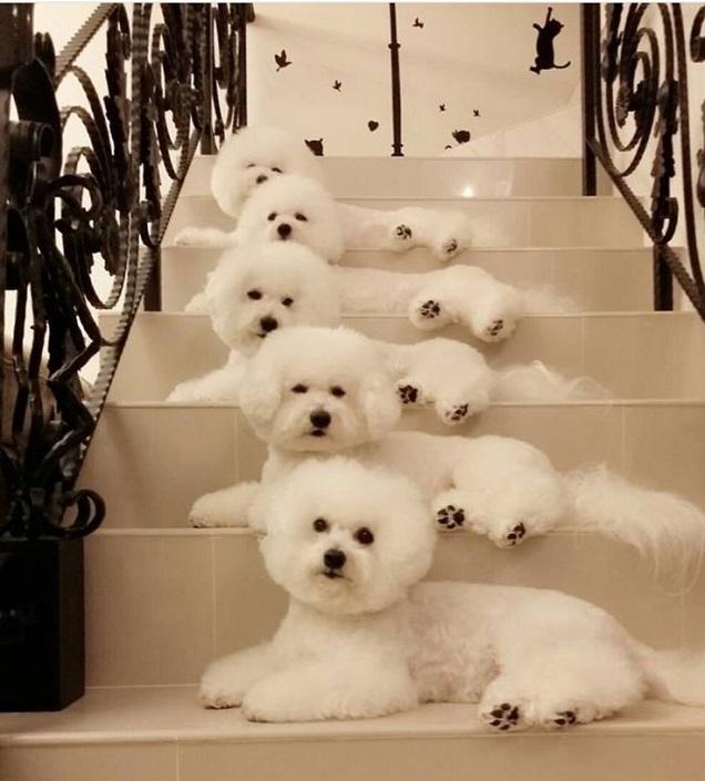 cute bichons stairs