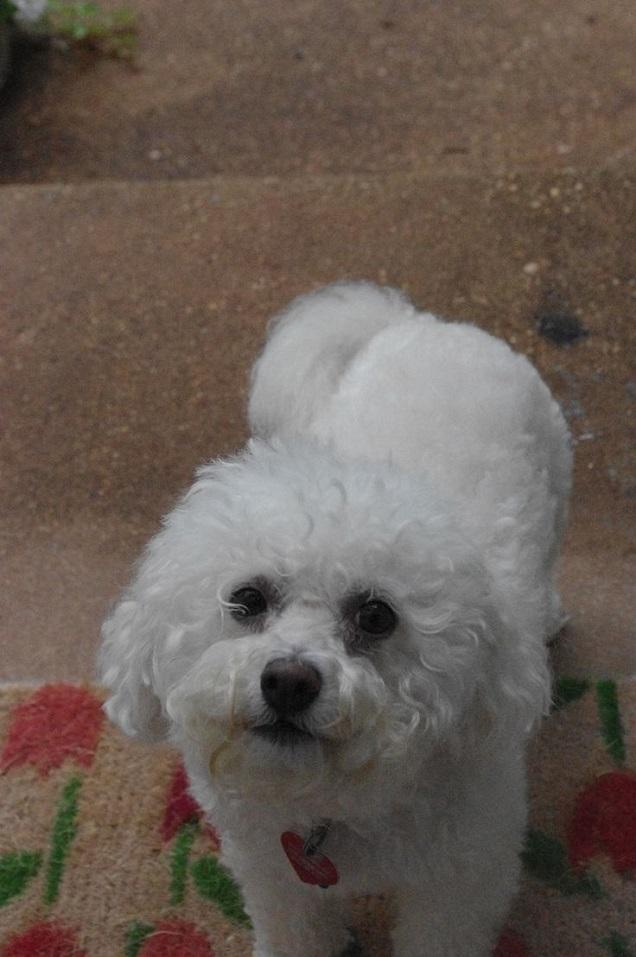 cute dog puppy white bichon