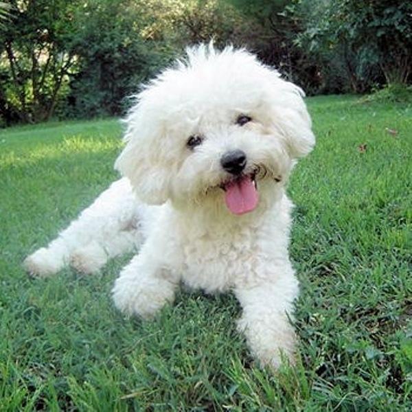cute puppy bichon frise