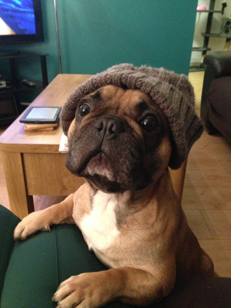 french bulldog hat 10 reasons french bulldogs are the worst breed ever 3291