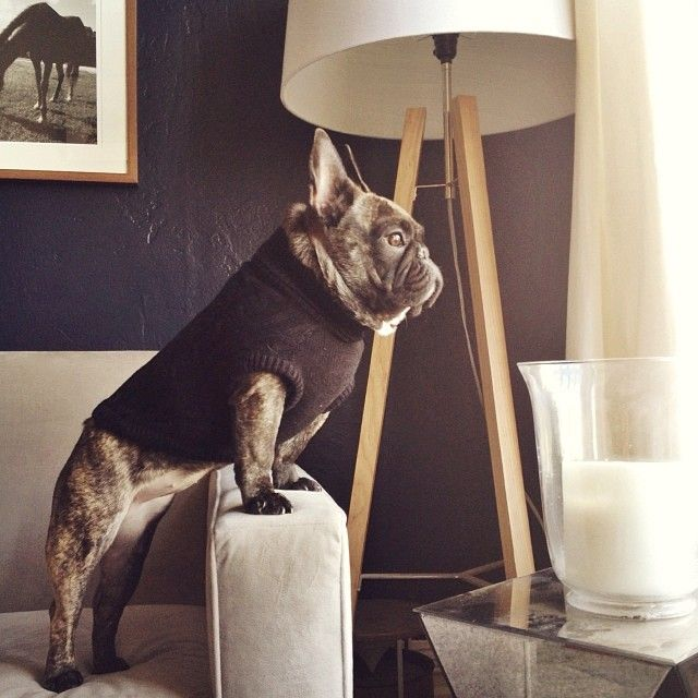 Your Ultimate Guide to the Different French Bulldog Types 21