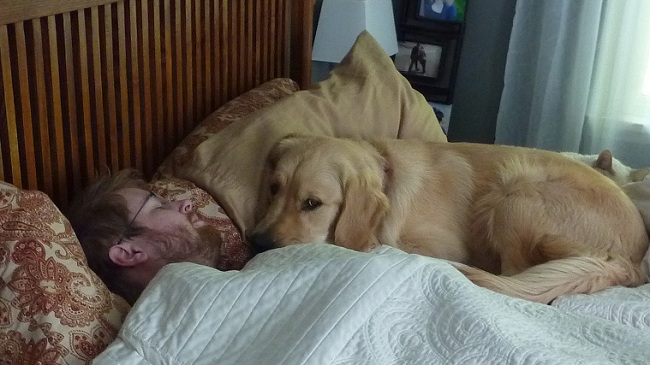 15 Reasons Golden Retrievers Are The Worst Indoor Dog