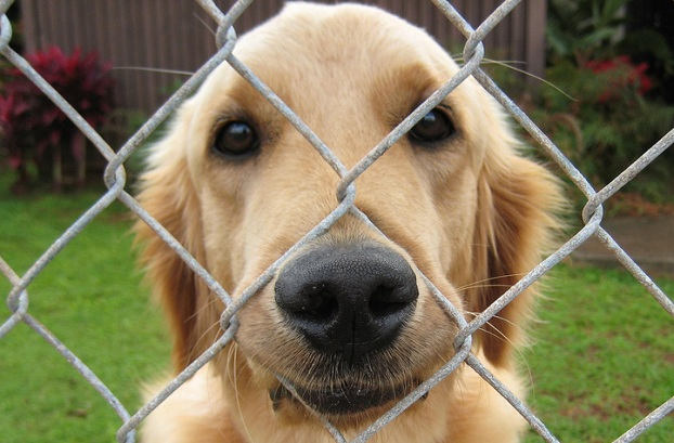 15 Reasons Golden Retrievers Are The Worst Indoor Dog